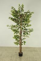 Ficus Benjamini variegated