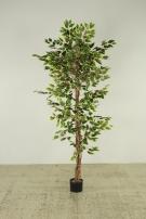 Ficus Benjamini panaschiert
