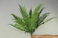Fern-Kings fern