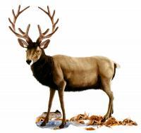 Deer 210 cm EL. HA. Serie 5979