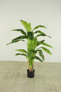 Banana tree 150 cm high